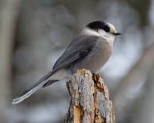 Gray Jay Bird
