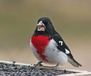 Rose Breasted Grosbeak Bird